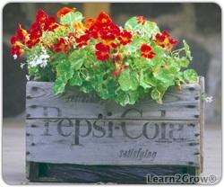 Pepsi Case Planter